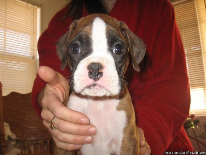 boxer puppies for sale in colorado. Colorado For Sale. AKC