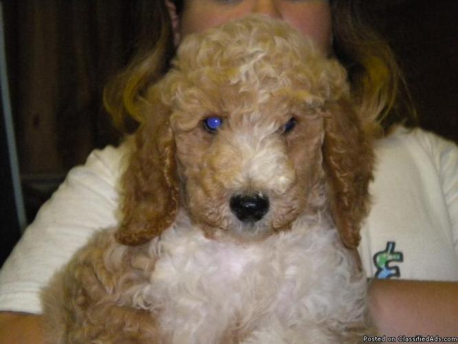 white goldendoodle puppy. golden doodle puppies